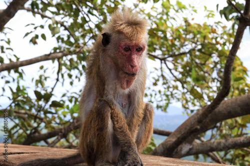 Aluminium Aap A Monkey in Sigiriya