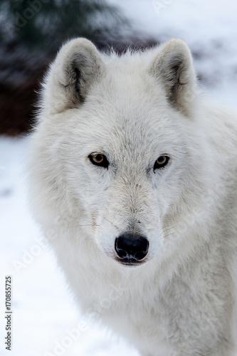 Aluminium Wolf Wolf, Arctic