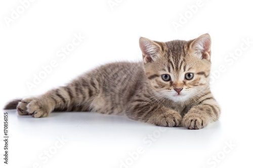 Cute scottish straight breed cat kitty lying on white background
