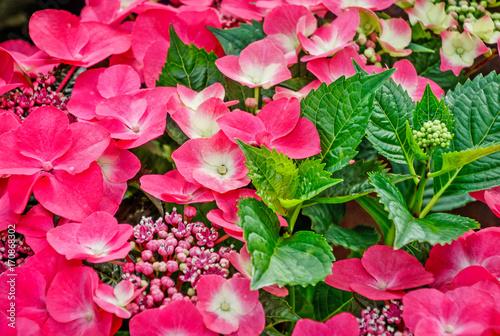 Fotobehang Hydrangea Hydrangea macrophylla - pink and white flowering shrub with shiny dark green leaves