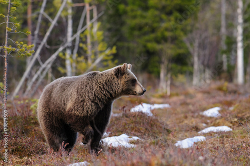 European brown bear in snow in early spring in taiga forest in Finland Poster