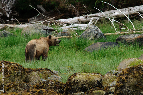 Foto op Plexiglas Canada Grizzly bear eating grass, Knight Inlet, British Columbia, Canada