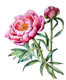 Watercolor Botanical illustration of a peony flower on a white background.
