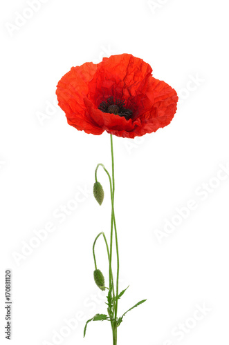 Poppy flower isolated without shadow