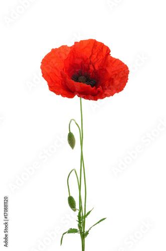 Fototapeta Poppy flower isolated without shadow