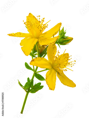 St. John's wort (Hypericum perforatum) isolated without shadow Photo by azure