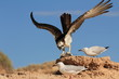 Osprey eats fish while seagulls try to steal scraps