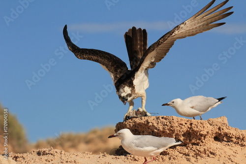 Fotobehang Eagle Osprey eats fish while seagulls try to steal scraps