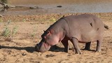 A hippo (Hippopotamus amphibius) outside the water, Kruger National Park, South Africa - 170924713