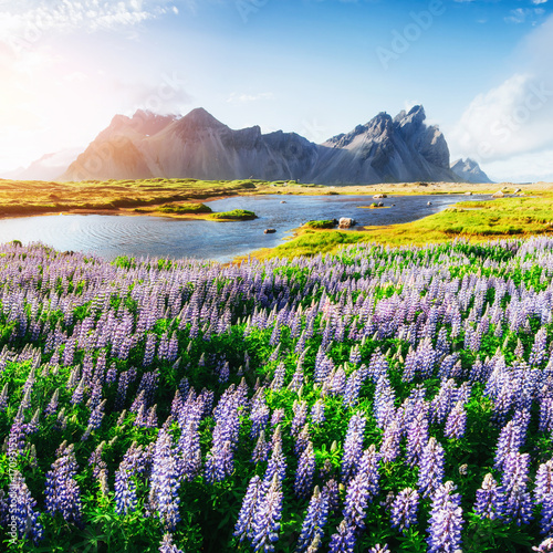 The picturesque landscapes of forests and mountains of Iceland. Wild blue lupine blooming