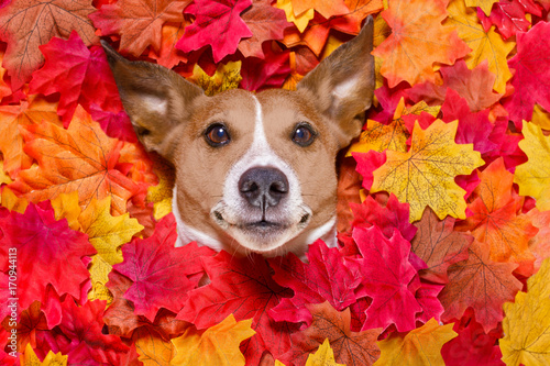 autmn fall leaves dog © Javier brosch