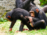 Chimpanzé - 170946101