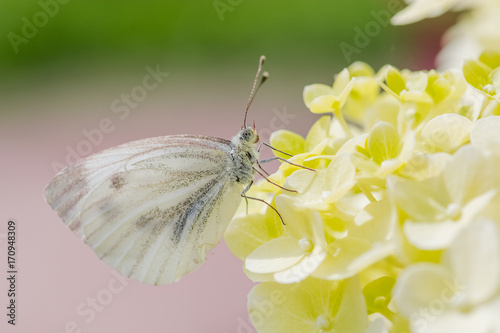 Aluminium Vlinder Beautiful white butterfly on a flower