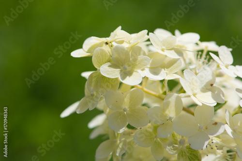 Fotobehang Hydrangea Hydrangea in a summer garden