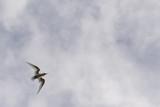 Polynesian white tern on deep blue sky background - 170951929