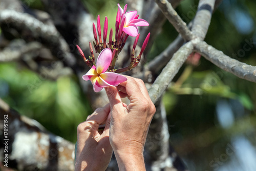 Fotobehang Plumeria woman hand holding Frangipani flower