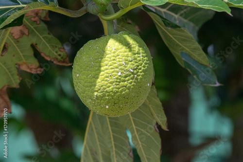 Aluminium Baobab bread tree fruit in polynesia