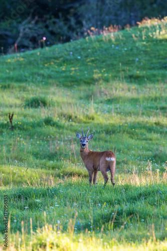 Fotobehang Hert Roebuck on a meadow in summer