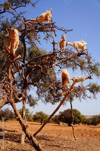 Foto op Canvas Bruin 木登りするヤギ