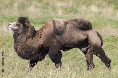 Fotobehang Kameel bactrian camel, Camelus bactrianus