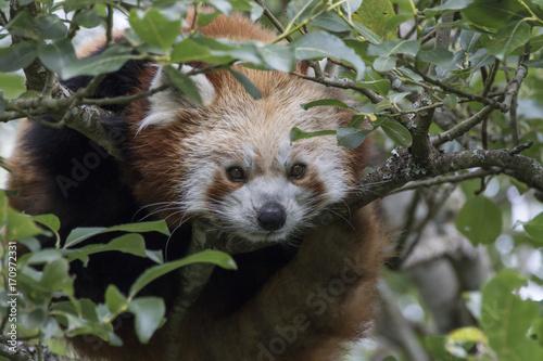 Aluminium Panda red panda, Ailurus fulgens