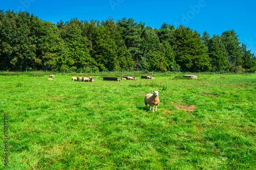 Fotobehang Tuin English countryside in Norfolk. Sheep grazing in a meadow.