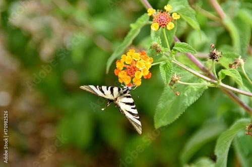 Fotobehang Vlinder Farfalla Iphiclides podalirius su fiore di Lantana