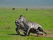 Zebras' fight - Tanzania