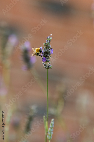Aluminium Lavendel Abeille