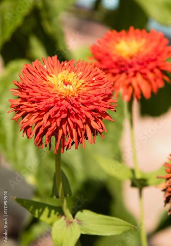 Fotobehang Koraal Chrysanthemum flower landscape