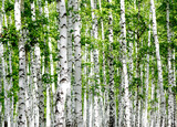 White birch trees in the forest in summer - 170999568