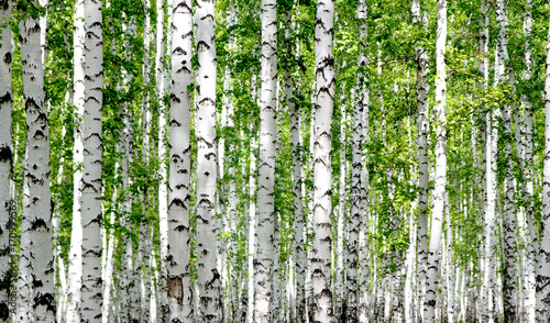 White birch trees in the forest in summer - 170999569