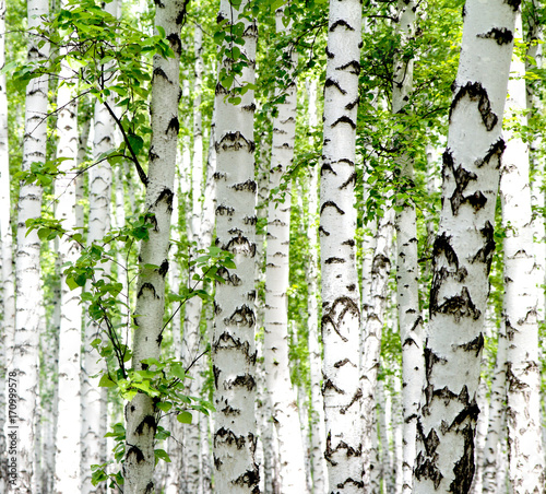 White birch trees in the forest in summer - 170999578