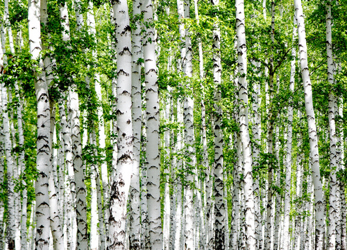 White birch trees in the forest in summer Poster