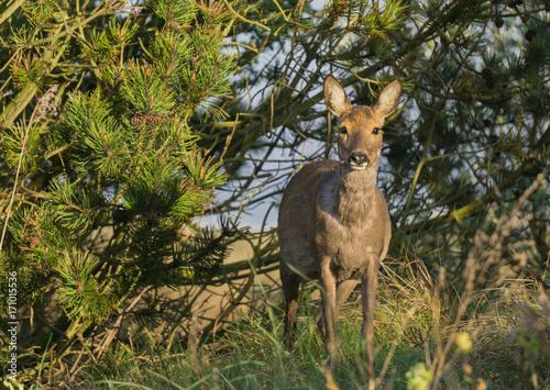Fotobehang Hert Deer in the wild