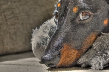 Miniature Dachshund Relaxing