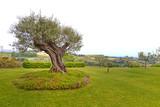 Giardino con albero di ulivo.