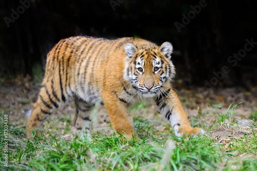 Fotobehang Tijger Tiger cub in grass