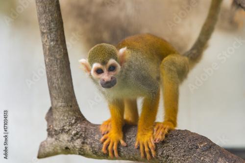 Aluminium Aap Common squirrel monkey, Saimiri sciureus on tree in zoo