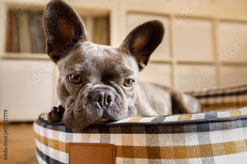 Fotobehang Crazy dog dog resting on bed at home