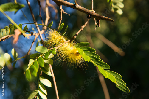 Beautiful yellowe caterpillar  on a green plant. Poster