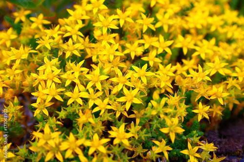 beam flowers of St. John's wort Photo by antonkuba