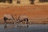 oryx namibie etosha