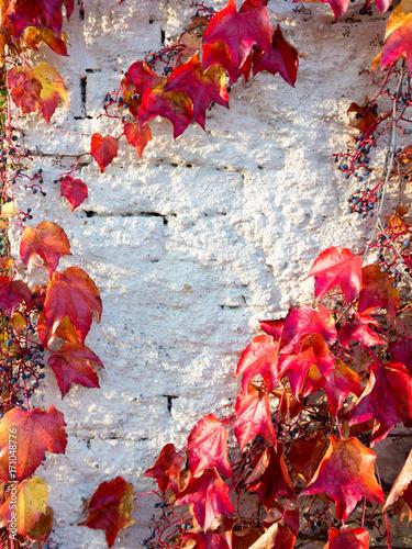 In de dag Baksteen muur Alte weiße Mauer mit herbstlich rotgefärbtem wilden Wein