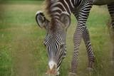 Close up zebra grazing