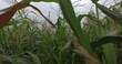 plantes du blé