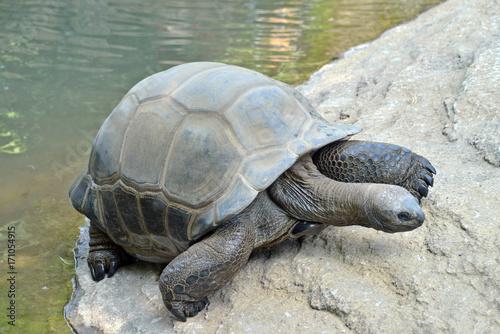 Aluminium Schildpad tartaruga gigante esce dall'acqua. una tartaruga gigante fa il bagno ed esce dall'acqua, serie fotografica.