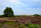 Heidelandschaft und Dünen nahe Schoorl/NL - 171056598