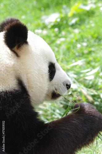 Aluminium Panda Portrait de Panda