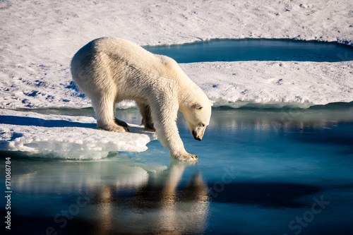 Canvas Ijsbeer Majestic polar bear looking into mirror